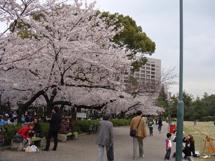 Sakuras1