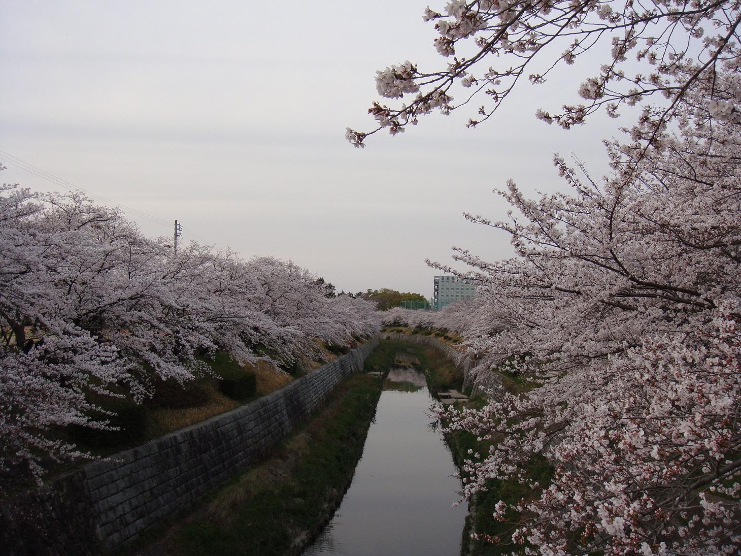 Sakura6